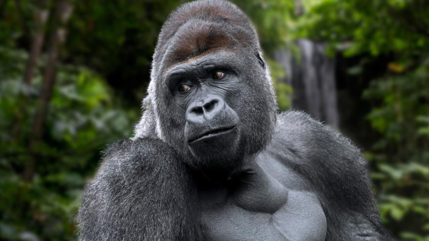 Немецкие ученые раскрыли секрет общения горилл