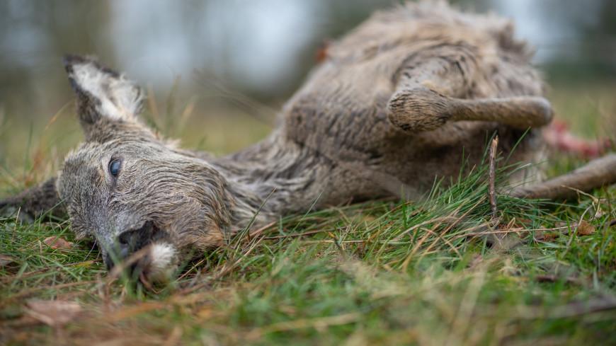 Сотни погибших оленей обнаружили на Камчатке
