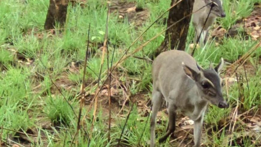 Ученые впервые сфотографировали в природе редкое африканское животное