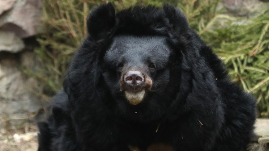 В Московском зоопарке гималайская медведица умерла во время спячки