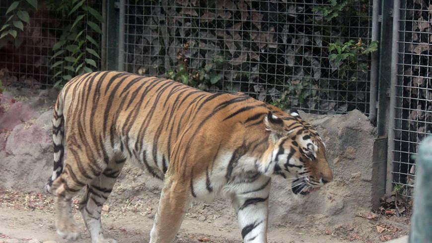 "© Александр Попов, ""«МИР 24»"":http://mir24.tv/, фото, зоопарк, тигр, тигры, животные"