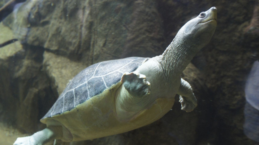 Черепаха испортила львам водопой своей назойливостью