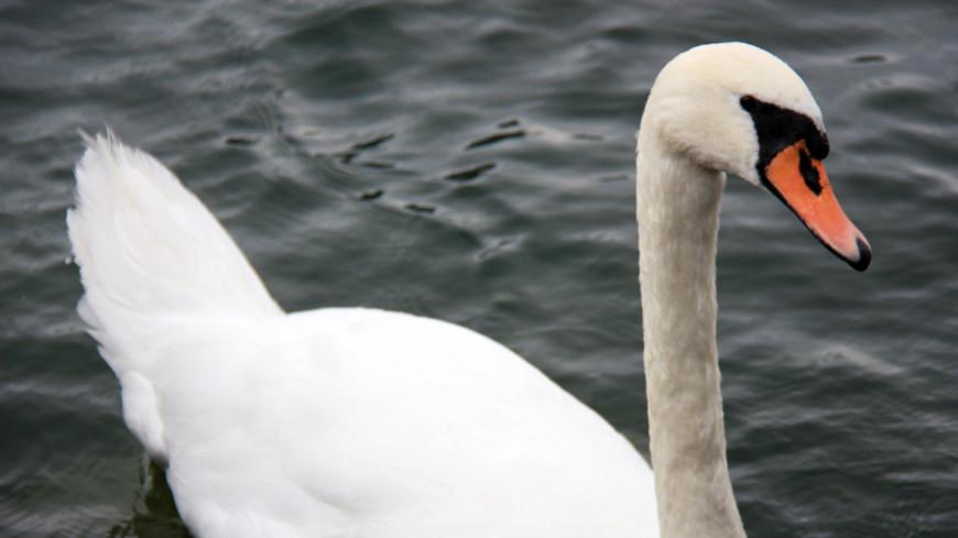 """Фото: Мария Чегляева, """"«МИР 24»"""":http://mir24.tv/, птенцы лебедей, лебедь, лебеди, птицы, лебеди на воде"""