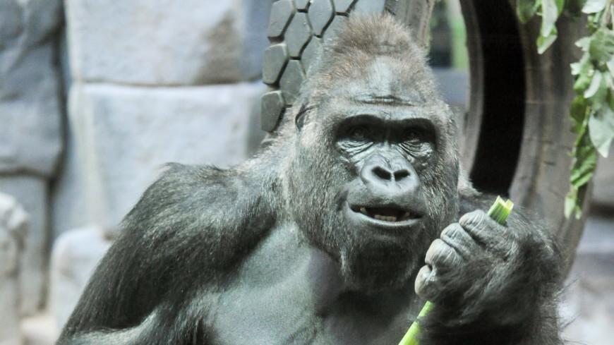 Главные новости за ночь: 50-летний юбилей гориллы, кислород на Марсе и испанский Бильбао без Евро-2020