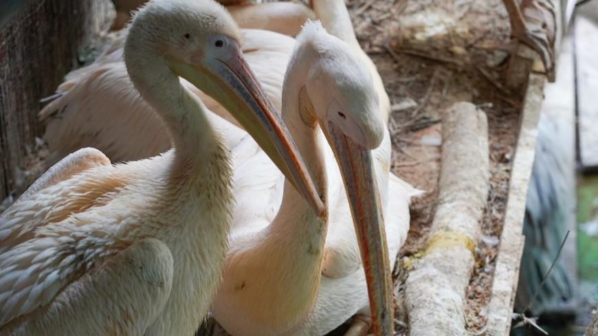 В Московском зоопарке появились на свет редкие кудрявые пеликаны