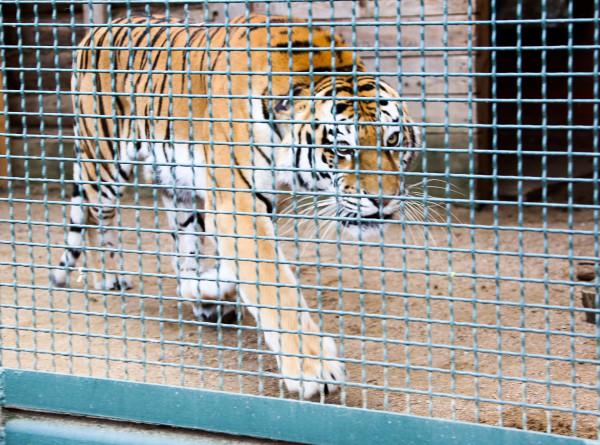 Переболевшие коронавирусом суматранские тигры вернулись в индонезийский зоопарк