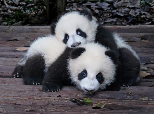 Панды-близнецы появились на свет во французском зоопарке