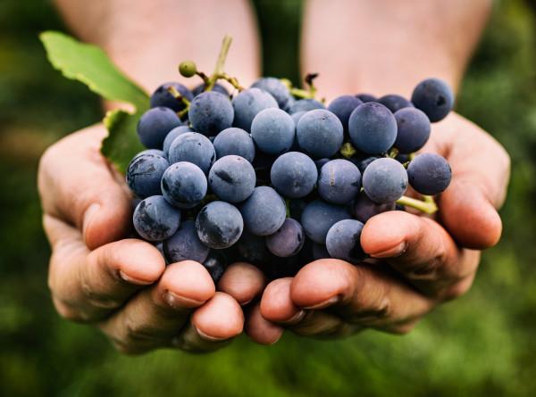 Помощь от государства: виноградарям Грузии доплатят за урожай