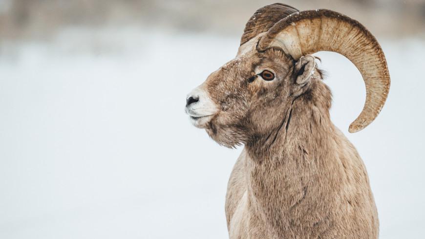 Ученые исследуют популяцию снежных баранов на Чукотке