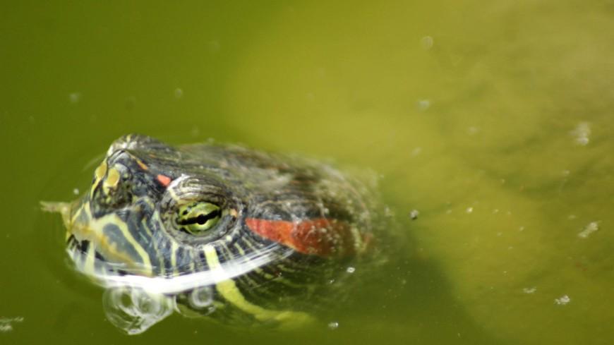 Рыбак в Новосибирске поймал на крючок красноухую черепаху