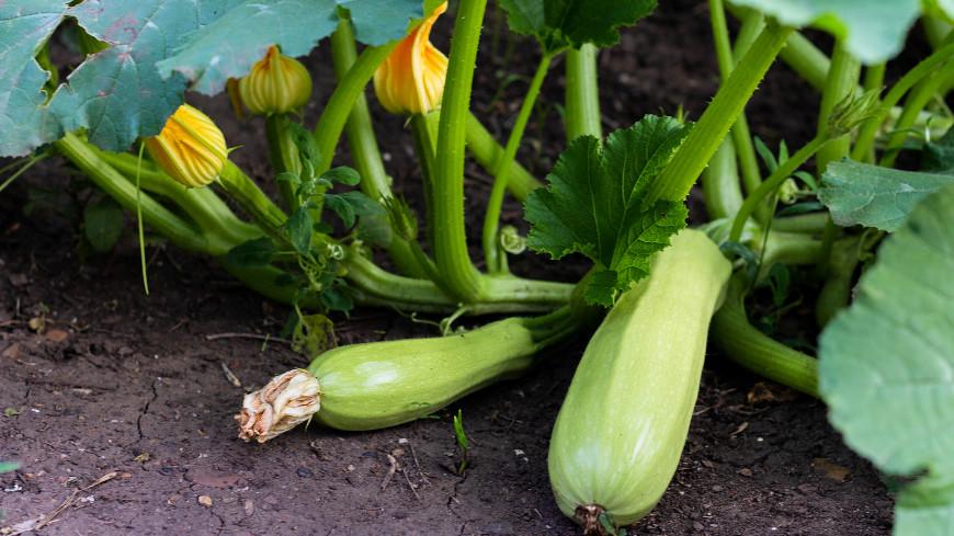Секреты ухода: что поможет продлить плодоношение кабачков