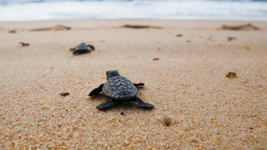 Черепахи оказались в эволюционной «ловушке» из-за пластика