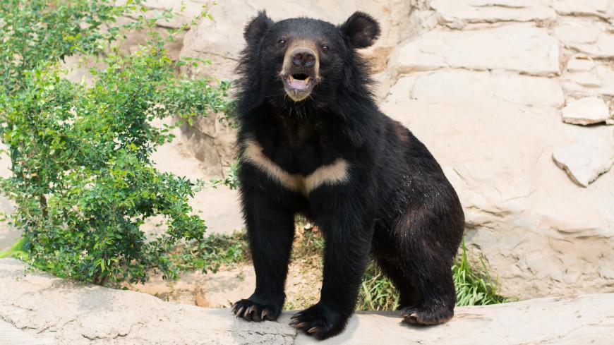 Гималайский медвежонок поиграл с фотоловушкой в Приморье (ВИДЕО)