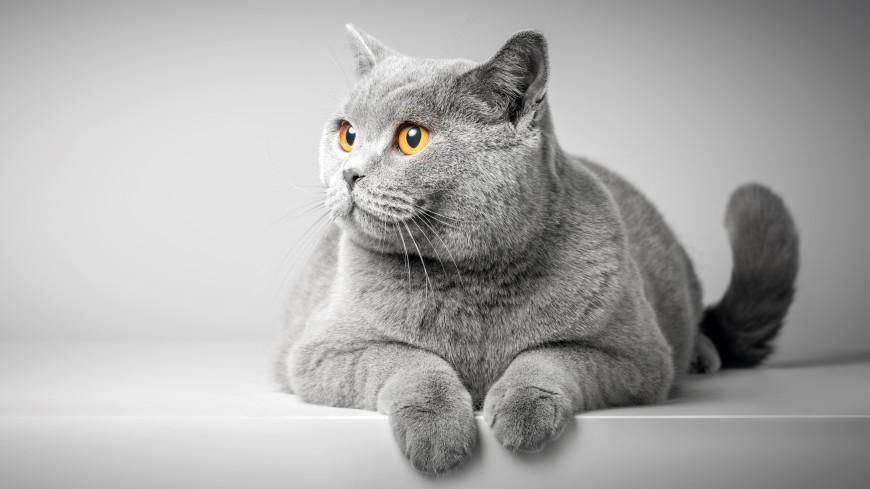 Тест: насколько хорошо вы знаете породы кошек?