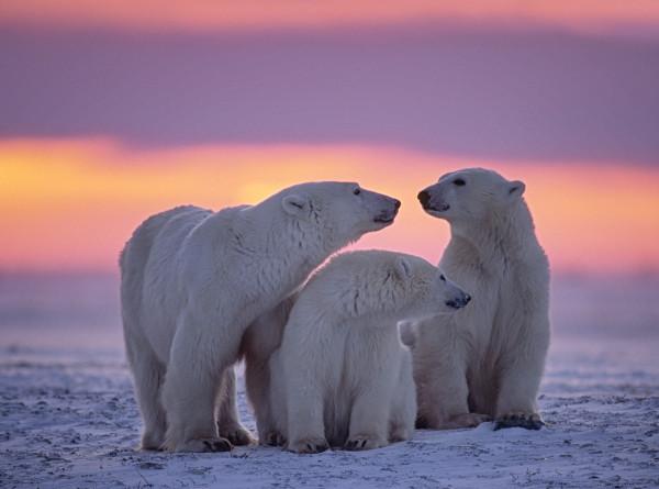 Не людоеды и вовсе не белые: что еще вы не знали о полярных медведях?
