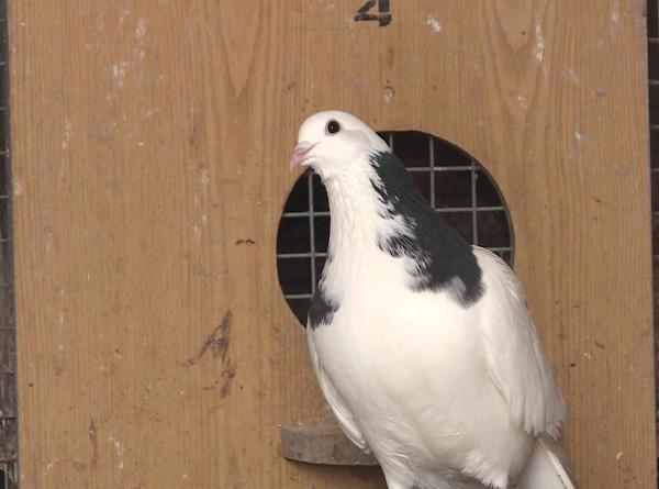 Любовь и голуби: минчанин Николай Бабук уже полвека разводит голубей