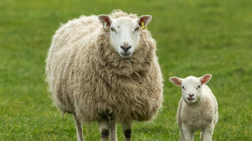 В Австралии спасли овцу, с которой состригли 35 килограммов шерсти