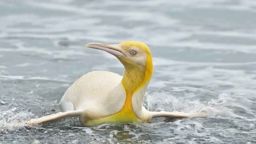Бельгийский фотограф впервые сделал снимки желтого пингвина