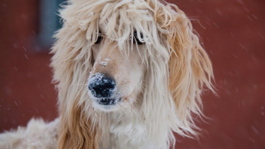 """Фото: Елизавета Шагалова, """"«МИР 24»"""":http://mir24.tv/, афганская борзая, собака"""