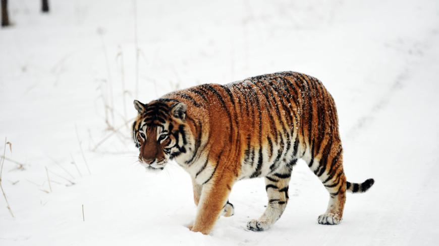 Президентские тигры попали на видеозапись в ЕАО