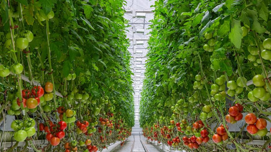 Площадь теплиц в Туркменистане увеличилась с начала года на 35 гектаров