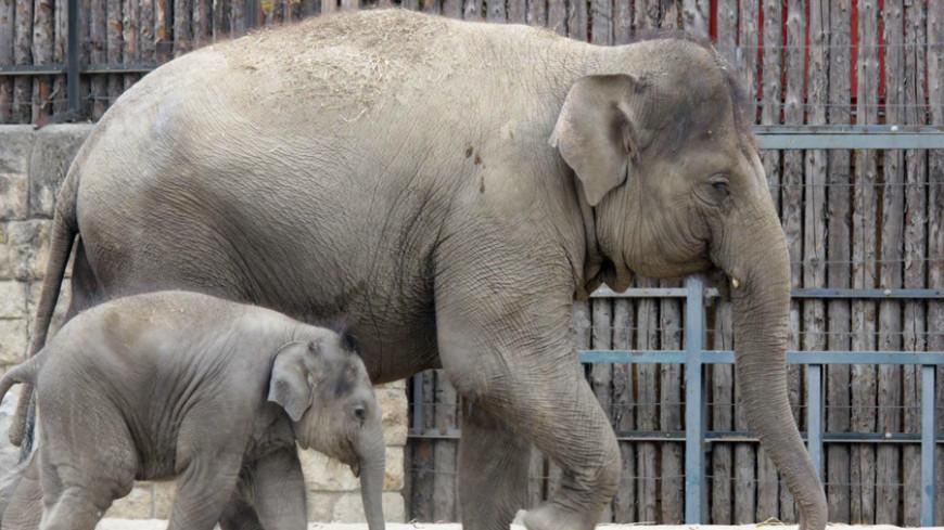 """""""© Фото: Александр Попов, «МИР 24»"""":http://mir24.tv/, животные, зоопарк, слон, слоны, слоненок"""