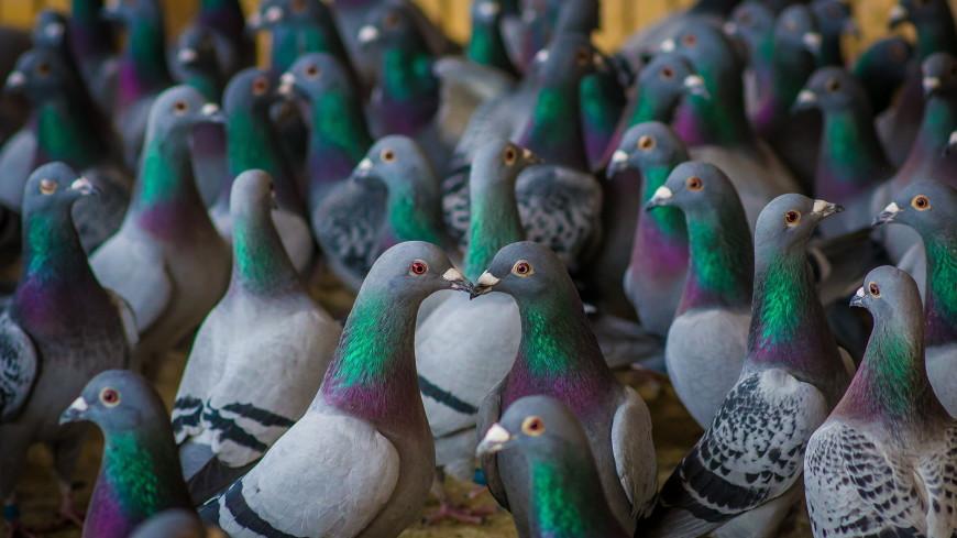 Житель Первоуральска устроил голубятню в своей квартире