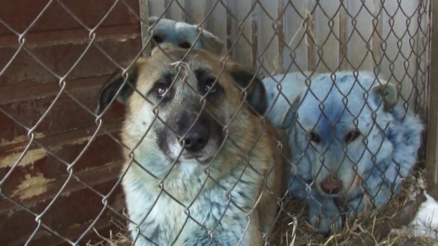 Голубые псы: в Дзержинске выясняют причину «посинения» местных собак