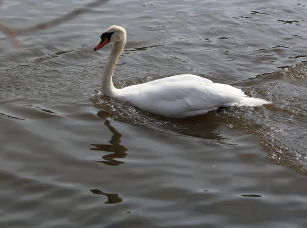 В Псковской области женщина приютила замерзшего лебедя и его птенцов (ВИДЕО)