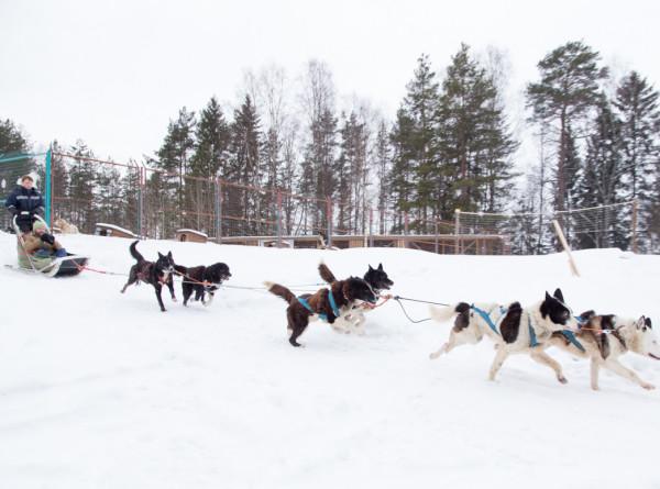 Спортдайджест: Легендарная собачья гонка «Айдитарод» осталась без финансирования