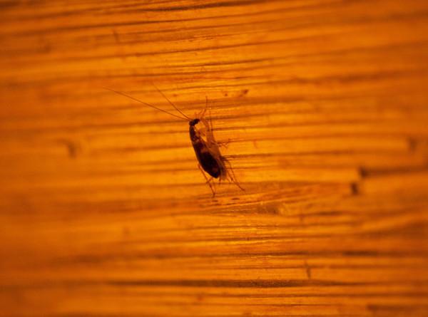 Биолог назвал условия полного избавления от тараканов в доме. ЭКСКЛЮЗИВ