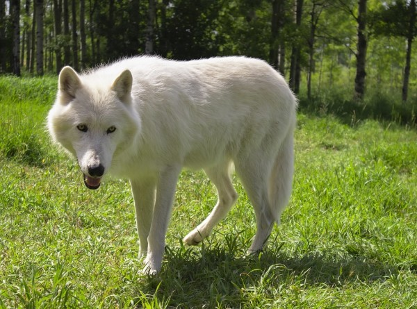 Финские ученые узнали, как волки превратились в домашних собак