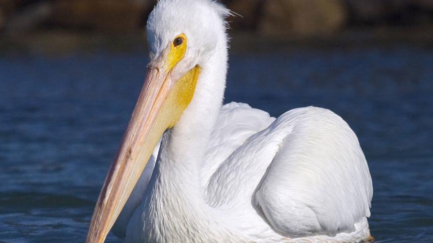 Птица года: в Казахстане главным пернатым стал пеликан