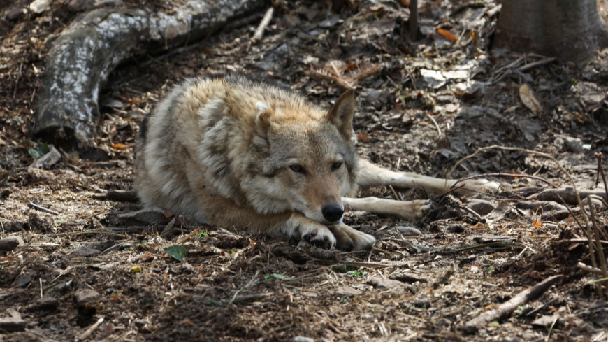 В Подмосковье поймали волка, несколько дней бродившего по улицам