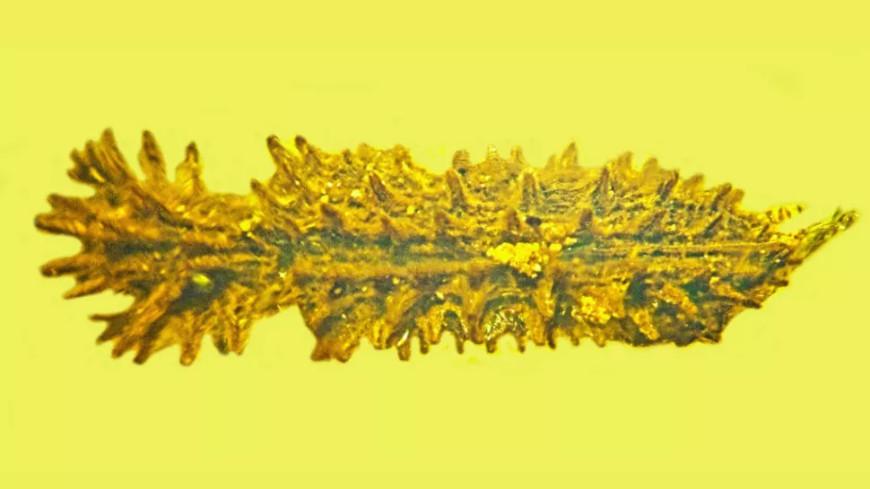 В куске янтаря нашли жука-короеда возрастом 100 млн лет