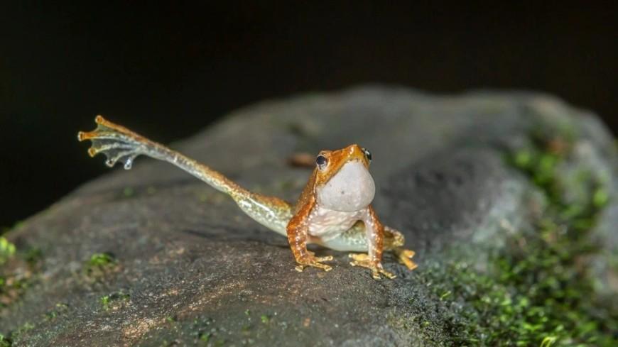 В Индии заметили редких лягушек, которые машут лапой в поисках партнера