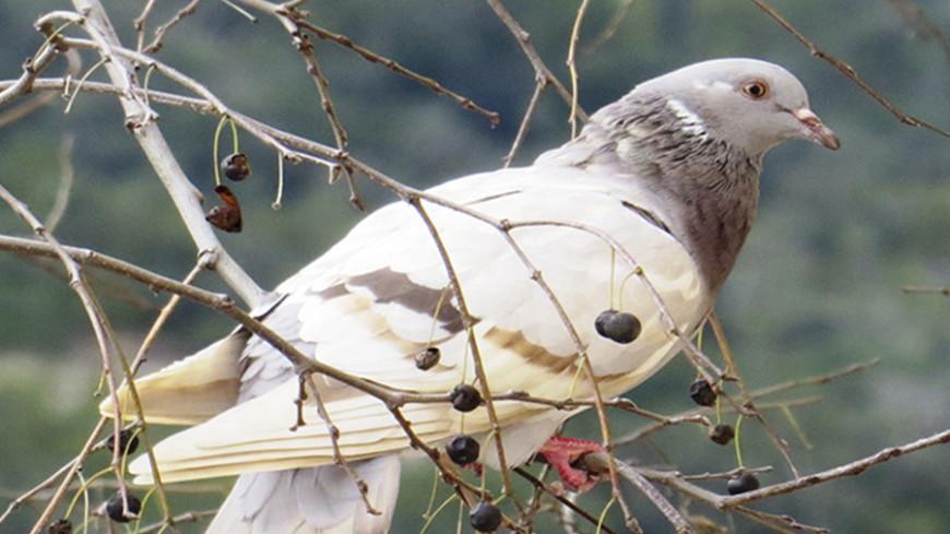 "Фото: Марина Третьякова, ""МТРК «Мир»"":http://mirtv.ru/, голубь"