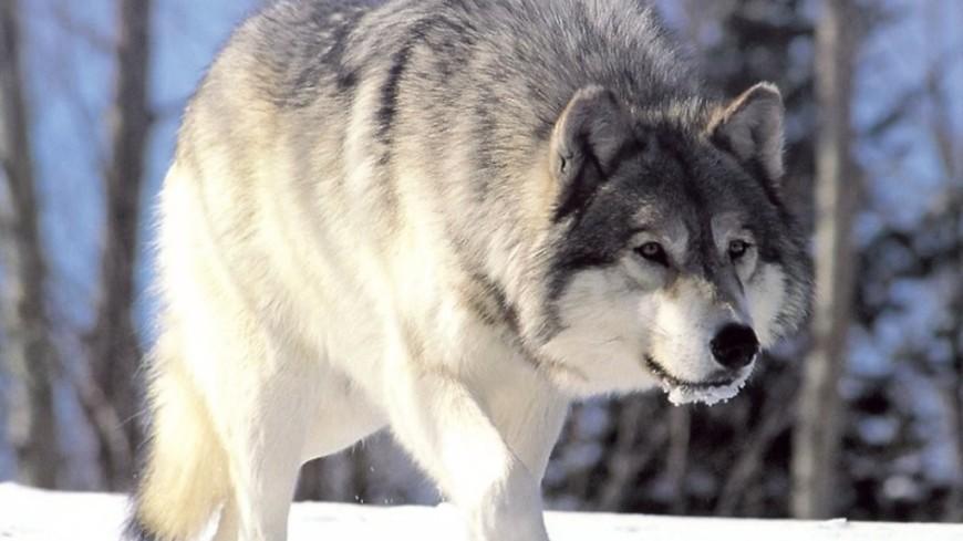 Волки держат в страхе жителей поселка в Коми