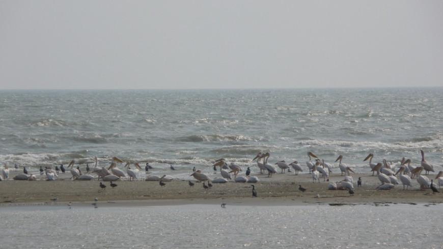 "© Фото: Елена Любутова, ""МТРК «Мир»"":http://mirtv.ru/, пеликаны, дельта дуная"