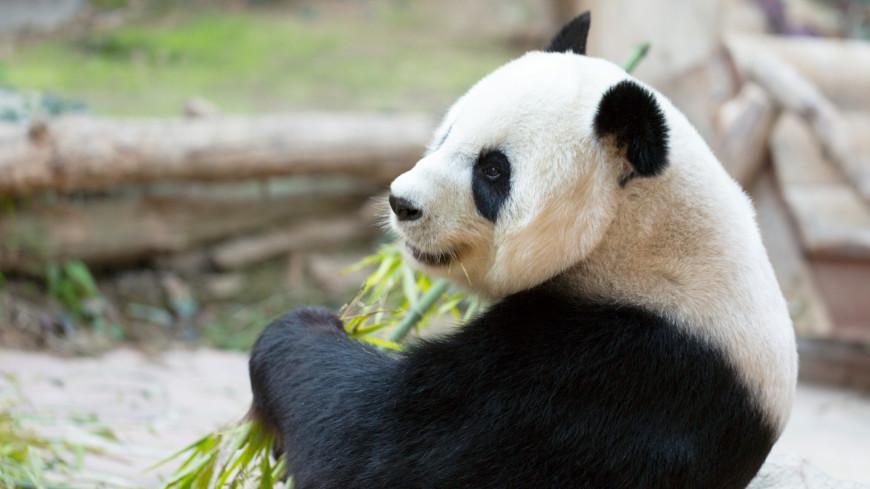 панда, животные, млекопитающие, красная книга, медведь, китай, зоопарк, фауна,