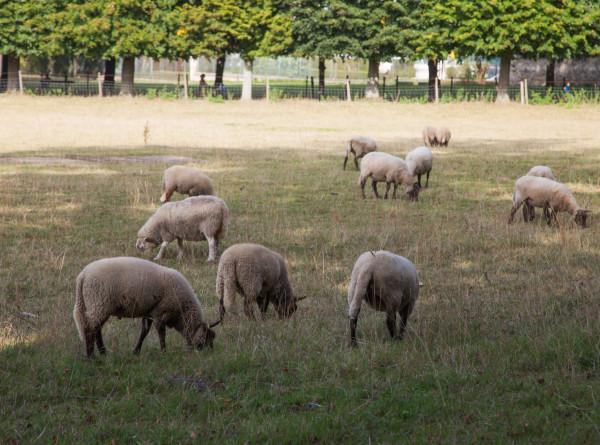 Ирландские историки наняли на работу стадо овец