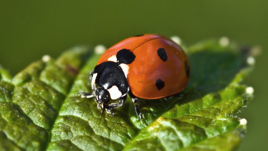 «Ужасно кусаются»: энтомолог рассказал о причинах нашествия божьих коровок на Анапу