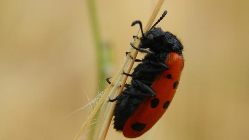 жук, насекомое, божья коровка, биология, природа, трава,