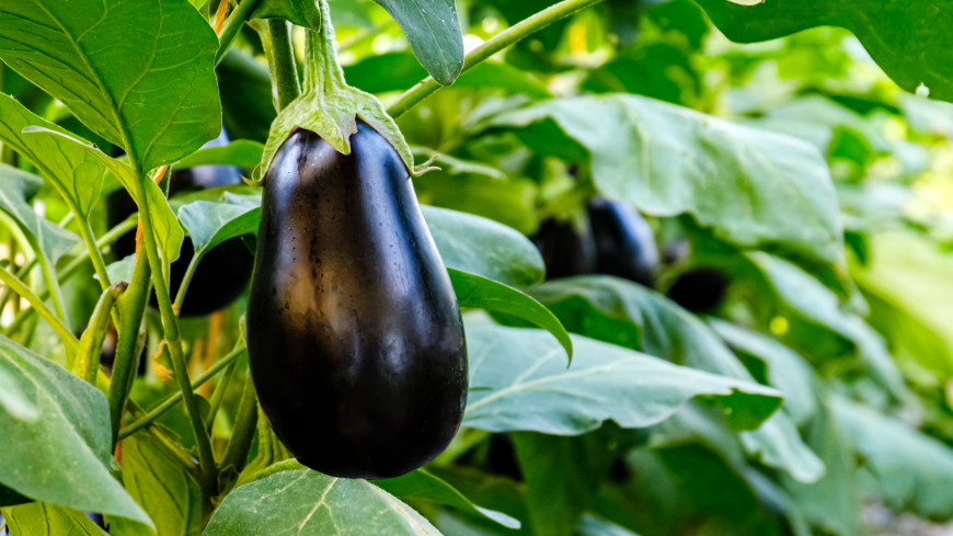 Три секрета старой бочки: как подготовить удобрения для баклажана своими руками