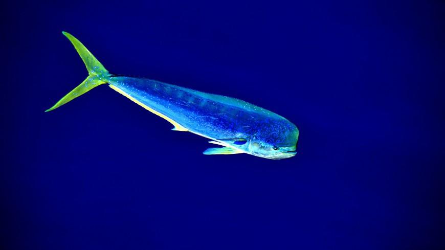 В Приморье поймали тропическую рыбу корифену