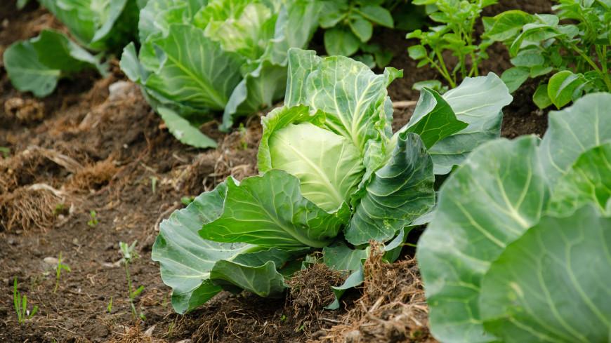 Как защитить капусту от прожорливых слизней и гусениц?