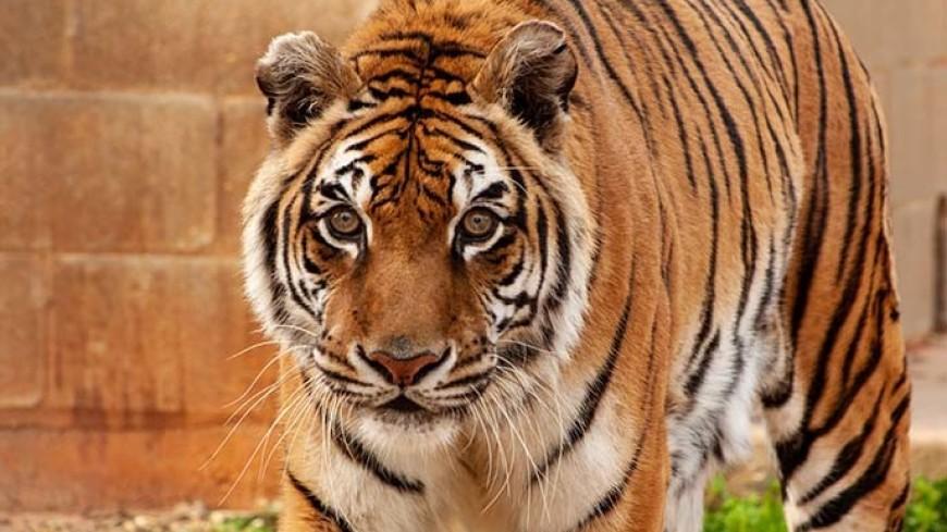 25-летняя тигрица признана старейшей в неволе в мире
