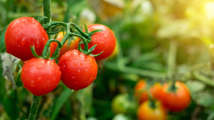 Как правильно поливать и подкармливать помидоры, чтобы получить богатый урожай?