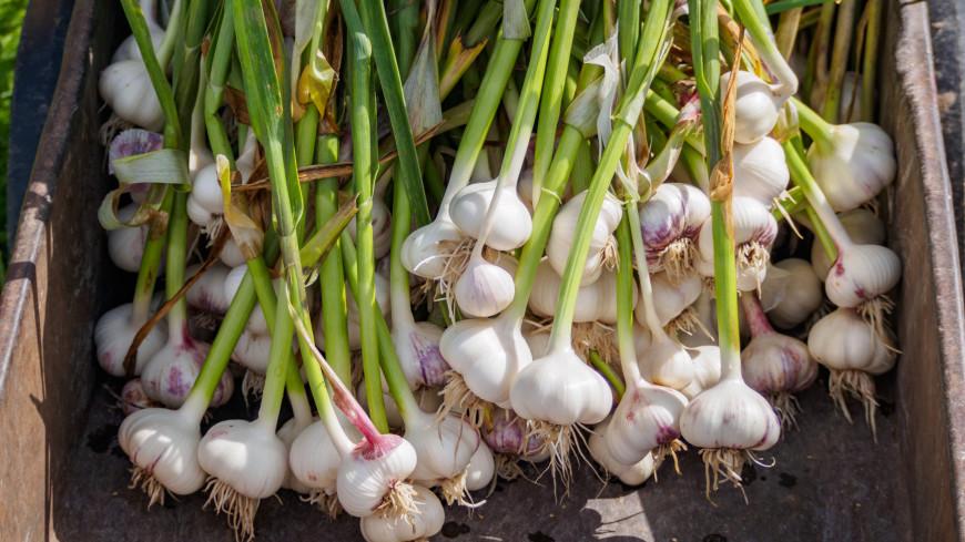 Как надолго сохранить урожай чеснока: простой способ
