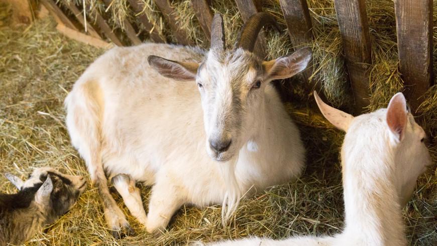 Новая пандемия может начаться с коз и свиней